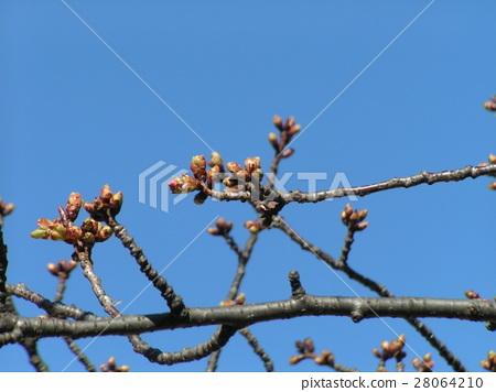 kawazu cherry blossoms, bud, light green color 28064210