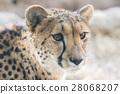 看看獵豹/ A豹紋Stares 28068207
