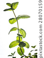 Sprig of mint 28070159