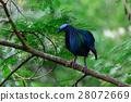 Caloenas Nicobarica Bird. 28072669