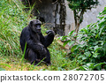 Gorilla in their natural habitat. 28072705