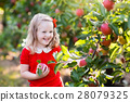 Little girl picking apple in fruit garden 28079325
