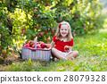 Little girl picking apples in fruit garden 28079328