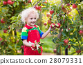 Little boy picking apple in fruit garden 28079331