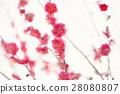 Plum blossoms, red plum 28080807