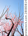 Plum tree, plum blossoms, red plum 28080814