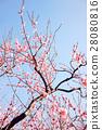 Plum tree, plum blossoms, red plum 28080816