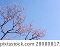 Plum tree, plum blossoms, red plum 28080817