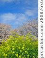 rape, blossoms, bloom 28082656