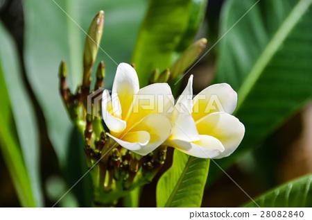 雞蛋花 Egg flowers 28082840
