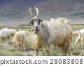 Kashmir goats in beautiful India landscape with sn 28083808