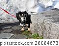 Miniature Dachshund 28084673