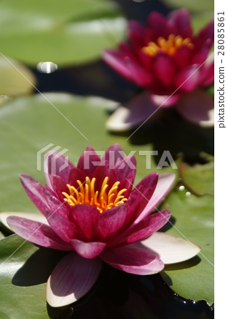 lotu, water lily, bloom 28085861