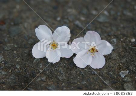 花瓣 櫻花 櫻 28085865
