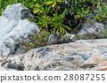 iguana, mexico, beach 28087255