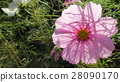 pink, petal, petals 28090170