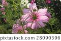 pink, petal, petals 28090396