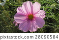 pink, petal, petals 28090584