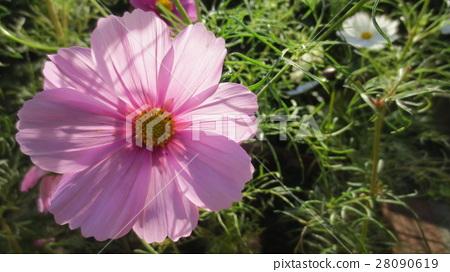 pink, petal, petals 28090619