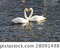 swan, swans, bird 28091498