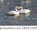 swan, swans, bird 28091499