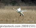 swan, swans, bird 28091501