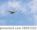 หงส์,นก,ท้องฟ้าเป็นสีฟ้า 28091502