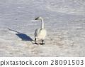 หงส์,นก,หิมะ 28091503