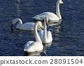 swan, swans, bird 28091504