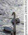 swan, swans, bird 28091505