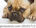 dog, animal, bulldog 28101712