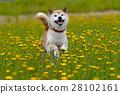 狗 狗狗 柴犬 28102161