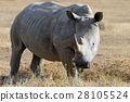 African white rhino 28105524