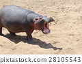 hippopotamus, animal, big 28105543