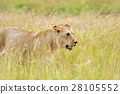 lion, nature, kenya 28105552