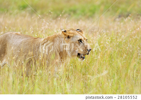 Lion in National park of Kenya 28105552