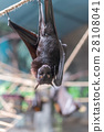 Malayan Bat (Pteropus vampyrus) hanging on a rope 28108041