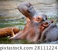 動物 河馬 哺乳動物 28111224