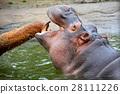 動物 河馬 哺乳動物 28111226