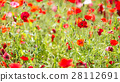 blooming, papaver, rhoeas 28112691