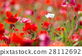 blooming, papaver, rhoeas 28112692
