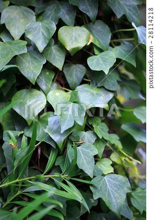 Ivy leaves 28114218