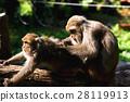 猴子 动物 聚集 28119913