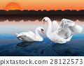 romantic swan couple 28122573