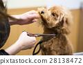 ทอยพุดเดิล,สุนัข,สุนัช 28138472
