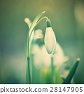 Spring flowers - snowdrops. Beautifully blooming. 28147905