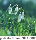 Spring flowers - snowdrops. Beautifully blooming. 28147908