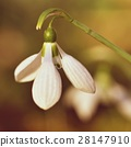 Spring flowers - snowdrops. Beautifully blooming. 28147910