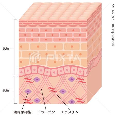 피부의 구조 단면도 28149135