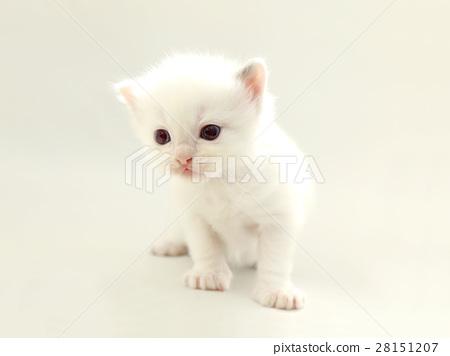 可愛的白色小貓 28151207